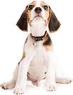 BARF Futter genießender Beagle