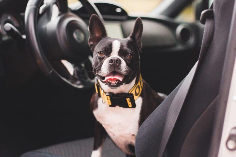 hund-autofahren-gewoehnen