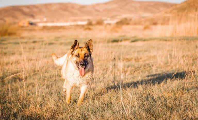 Gedüngte Wiesen und Felder: ein Problem für den Hund
