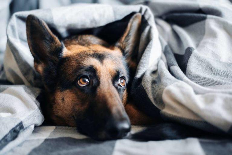 Hund schläft unruhig – daran kann es liegen