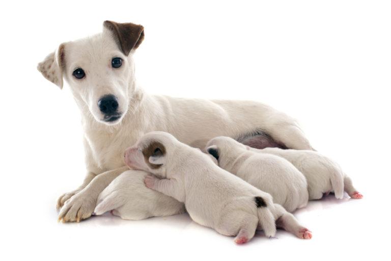 Hundeschwangerschaft – das sollten Sie wissen